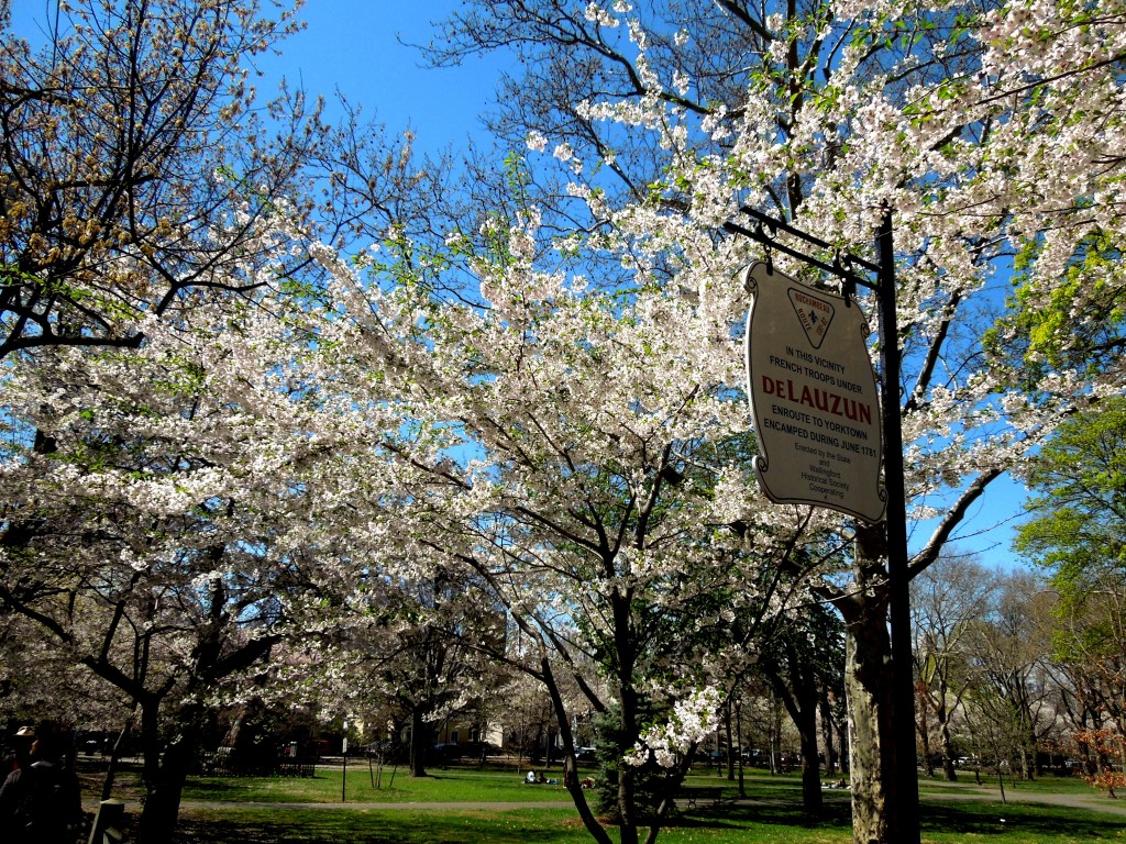 Wooster Square Cherry Blossoms