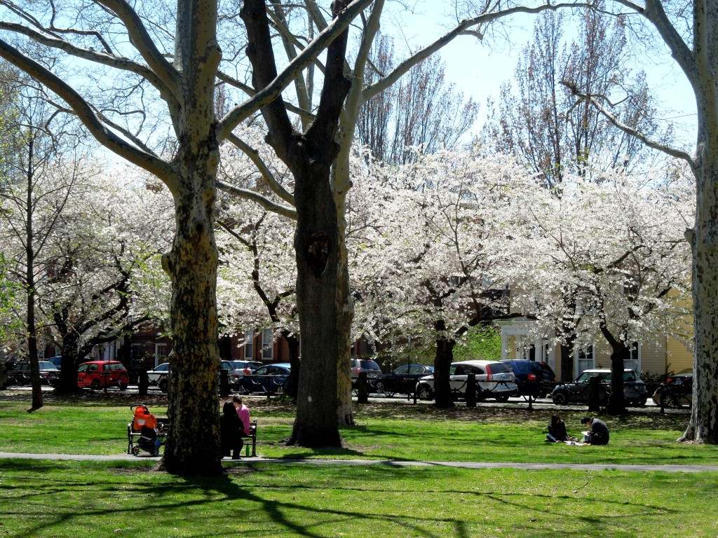 Cherry blossoms in Wooster Square New Haven Connecticut